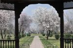 Prison Tales V: Badamwari Agony amidst Blossoms